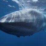 Ce eficiență a avut interzicerea vânătorii de balene în urmă cu 40 de ani?
